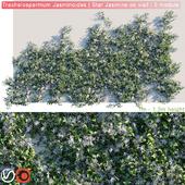 Trachelospermum Jasminoides   Star Jasmine on wall