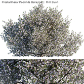 "Prostanthera ""Poorinda Ballerina"" | Mint bush"