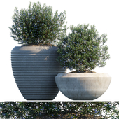 Plant in pots #17 : Rosemary