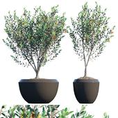 Plant in pots # 18: Eucalyptus Lehmannii