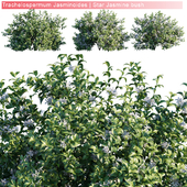 Trachelospermum Jasminoides | Star jasmine bush