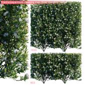 Trachelospermum Jasminoides | Star jasmine hedge