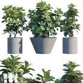 Plant in pots # 19: Ficus Lyrata | 3m