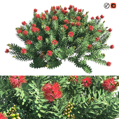 Callistemon Citrinus (Dwarf Brush)