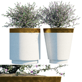 Plant in pots # 20: Leucophyllum frutescens