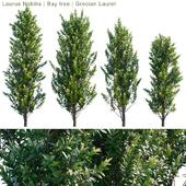 Laurus Nobilis | Bay tree | Grecian Laurel