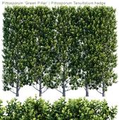 Pittosporum 'Green Pillar' | Pittosporum Tenuifolium hedge | 1m8