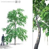 Catalpa Bignonesevy tree | Catalpa bignonioides