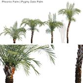 Phoenix Palm | Pygmy date palm