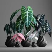 plant set 2 - elephant ear plant