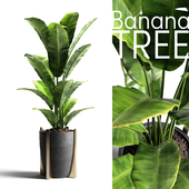 Banana tree 2
