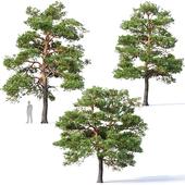 Pinus sylvestris # 5 H7-10m Three tree set