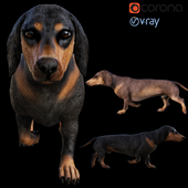Dog_Dachshund