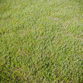 Grass_for_landscaping