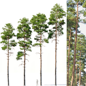 Pinus sylvestris #6 H17-22m Four tree set