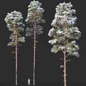 Pinus sylvestris Nr13 H19, 22m. Two winter trees