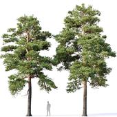 Pinus sylvestris Nr16 H12-14m Two tree set