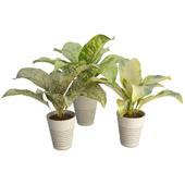 Interior Plants Dieffenbachia