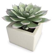 Interior Succulent Plant Aeonium