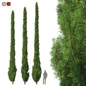 Cupressus 9-10m