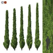 Cupressus 5-6m