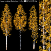 Populus tremuloides | Quaking Aspen # 2 (20m)