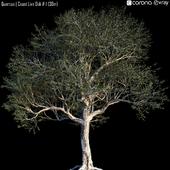 Quercus | Coast Live Oak # 1 (30m)