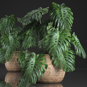 Plant Collection 343. Monstera