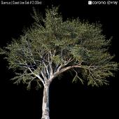 Quercus | Coast Live Oak # 2 (30m)