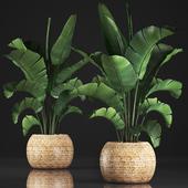 Коллекция растений 345. Banana palm