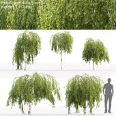 Birch hanging Junghi | Betula pendula Youngii # 1 (1.7-2.3m)