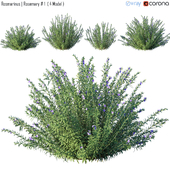 Rosmarinus | Rosemary # 1 (4 Model)