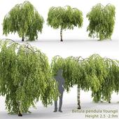 Birch hanging Junghi | Betula pendula Youngii # 2 (2.5-2.9m)