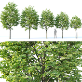 Tilia europaea # 1. H4-6.5m. Five tree set