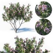 Pink Dawn Tree (Chitalpa Tashkentensis)