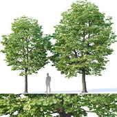 Tilia europaea #2 H7-8m Two tree set