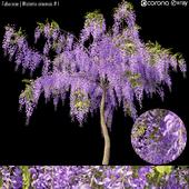 Fabaceae | Wisteria sinensis # 1