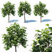 Paulownia Elongata (4m) 3 Tree Set