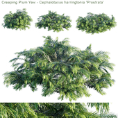 "Creeping Plum Yew | Cephalotaxus harringtonia ""Prostrata"""