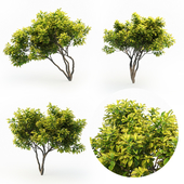 Magnolia (4m) 3 Tree Set