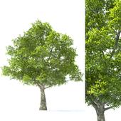 Tilia Tree - 10m Height - Tree Set 01