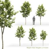 Клён | Maple-tree #8 (2.7-4.9m)