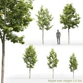 Клён | Maple-tree #9 (3.2-5m)
