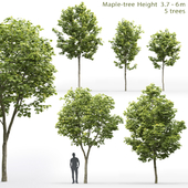 Клён | Maple-tree #10 (3.7-6m)