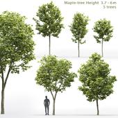 Maple | Maple-tree # 10 (3.7-6m)