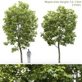 Maple | Maple # 12 (7.4-7.8m)