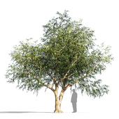 Eucalyptus op1