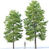 Tilia europaea #3. H9-11m. Two tree set