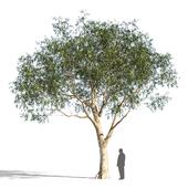 Eucalyptus_3