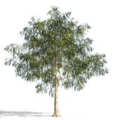 Eucalyptus_4